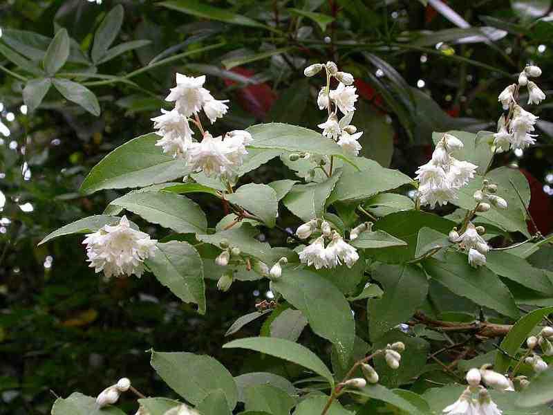 Дейция шершавая махровая(Deutzia scabra` Plena`)