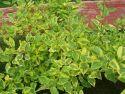 Дерен белый Spaethii (Cornus alba).  Увеличить.