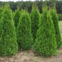 Туя Смарагд Экстра (Thuja occidentalis Smaragd Extra), ком